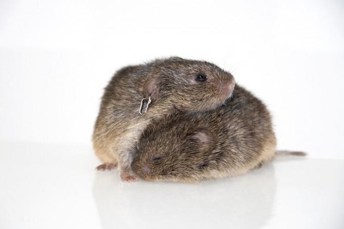 북미대륙에 사는 대초원 들쥐는 일반적으로 일부일처제를 이루지만 일부 수컷 쥐는 바람끼가 다분하다. 연구팀은 유전자 차이 때문에 발생한 나쁜 기억력이 그 원인이라고 지목했다. - 오브리 켈리(미 코넬대) 제공